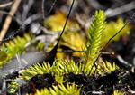 Marsh Clubmoss (Lycopodiella inundata)